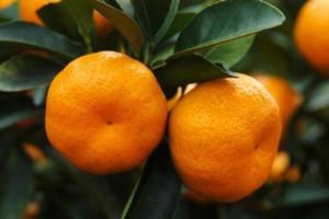 柳州:全力打造全国优质柑桔产业区